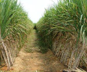 حملة قومية لترشيد استهلاك المياه المستخدمة في زراعة قصب السكر