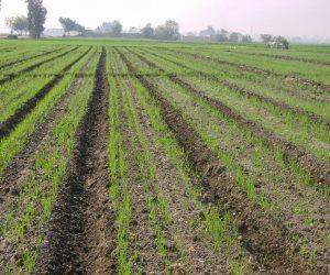 3 سنوات على حكم السيسي.. الزراعة تحقق طفرة في استرداد الأراضي والقمح