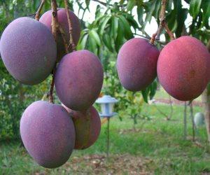 خطة وزارة الزراعة لحماية محصول المانجو من العفن الهبابي