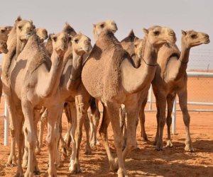 الحجر البيطري بأسوان يستقبل 2500 رأس من الإبل الواردة من السودان
