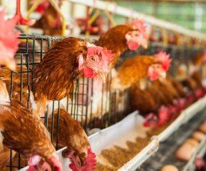 رئيس «منتجي الدواجن»: 100 مليون دجاجة سنويا تحقق الاكتفاء الذاتي في 3 سنوات