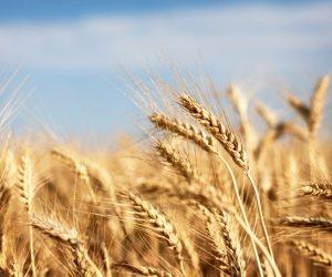 وزارة الزراعة تتسلم 21 ألف طن قمح بكفر الشيخ