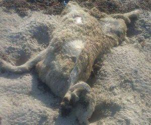«الإنقاذ البحري»: خراف نافقة على شواطئ غارب ألقتها إحدى السفن العابرة