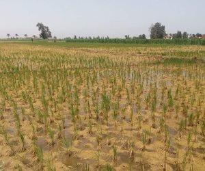 مستقبل طبق الرز.. الأقمار الصناعية تكشف مفاجأة حول المساحات المنزرعة بالمحصول