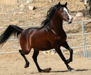 الزراعة: تصدير 2 من الخيول العربية الأصيلة لهولندا والإعداد لسفر 7 آخرون