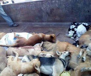 حملة للقضاء على الكلاب الضالة في شوارع الملاحة بالسويس