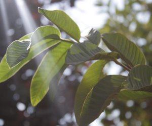 أوراق الجوافة في خدمة جمال البشرة والشعر ..تزيل البثور وتقلل التجاعيد وتمنعى تساقط