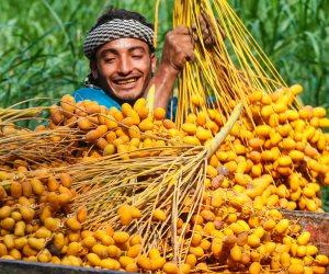 مزارعو قطاع غزة يبدأون موسم جمع البلح