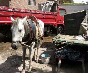 مصادرة 115 عربة «كارو» في المطرية وتحويل مصرف صحي لـ «ممشى سياحي»