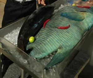 محميات البحر الأحمر: التحقيق في عرض سمكة مهددة بالإنقراض في مطعم