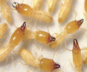 وزارة الزراعة تحارب النمل الأبيض