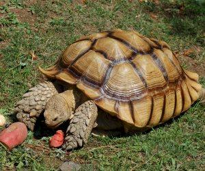 أول صورة للسحلفاة المسروقة من حديقة الحيوان