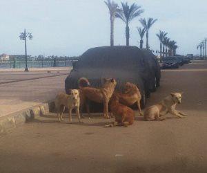الكلاب الضالة تحتل كورنيش النيل بدمياط وتعترض طريق المواطنين (صور)