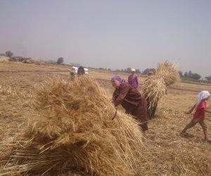 الانتهاء من حصاد 53 ألف و663 فدان من القمح في الدقهلية