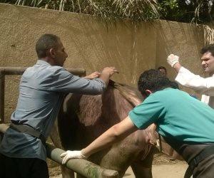 فحص وعلاج 586 رأس ماشية و5000 طائر وصرف العلاج الوقائى بالمجان في أبوالنمرس