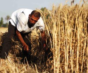 رئيس قسم بحوث القمح: «لو إبليس يقدر يطلع صنف ينتج 40 أردب ممكن أتعامل معاه»