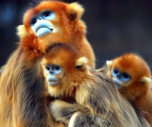 ولادة 6 قرود نادرة في محمية طبيعية جنوب الصين