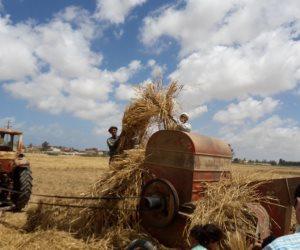 «صوت الأمة» ترصد رحلة حصاد «الذهب الأصفر» في غرب الإسكندرية (فيديو وصور)