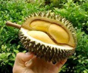 الدوريان.. ملكة الفواكه الماليزية: «طعم الجنة ورائحة جهنم»