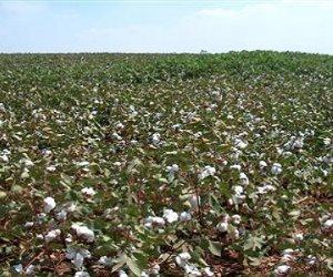 بداية الأيام السمان.. زيادة في زراعة القطن 60%.. الذهب الأبيض يتحدى التقارير الخارجية