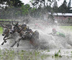 الهنود يتسابقون مع الثيران لجلب الأمطار: مهرجان الرياح الموسمية ينهي فعالياته (صور)