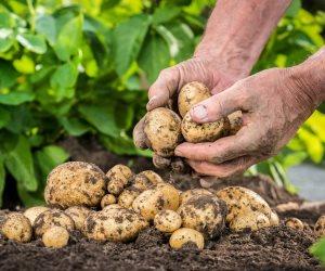بعد تدخل الجهات الرقابية.. متى تنتهي أزمة اختفاء محصول البطاطس؟