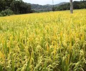 الزراعة تطمئن المصريين: محصول الأرز يكفي الاستهلاك المحلي
