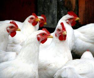 تعرف على أسعار الدواجن واللحوم اليوم الاثنين 17-6-2019