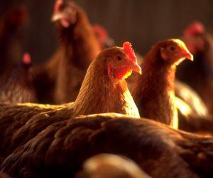استقرار أسعار الدواجن والبيض واللحوم اليوم الإثنين 22-7-2019