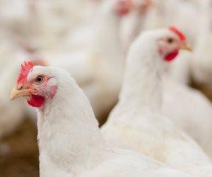 أزمة مصير تداول الطيور الحية تتجدد