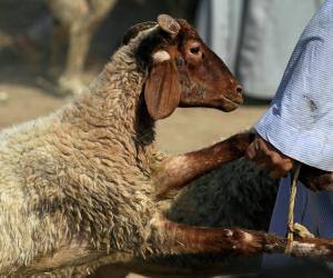 إذا ذبحتم فأحسنوا الذبح.. كيف تحولت الأضحية من شعيرة مقدسة لانتهاك بالحيوان؟
