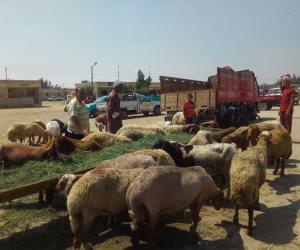 وفرة كبيرة في أضاحي العيد..والأسعار على قد الأيد بأسواق شمال سيناء ( صور وفيديو )