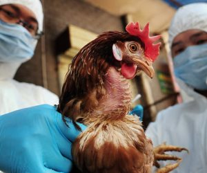بعد اكتشاف نوع جديد من أنفلونزا الطيور.. كيف تخطط «الزراعة» لمحاصرة البؤر المصابة؟