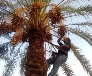 «البارحي - البرتمودا - الخضري».. تمور عالمية جديدة تصنع على أراضي مصرية