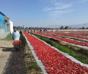الصعايدة نجحوا.. هكذا غزت طماطم جنوب مصر  أوروبا وأمريكا (صور)