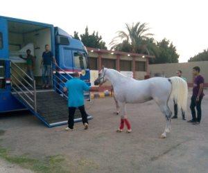 بعد 8 سنوات من وقف تصدير الخيول.. مصر تدخل سوق عالمي جديد (صور)