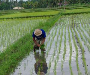 لماذا استقرت أسعار الأرز الأبيض رغم زيادة طن «الشعير»؟.. رئيس شعبة الأرز يجيب
