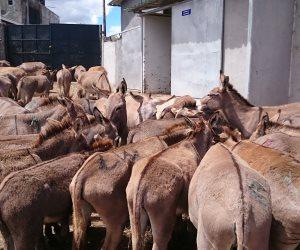 بعد ارتفاع سعر «جلد الحمير» إلى 1000 دولار.. تعرف على  موقف مصر من «دابة الفلاحيين»