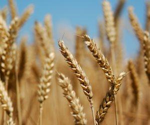 نقيب الفلاحين: إعلان سعر مرضي للقمح الآن يحفز المزارعين على زيادة المساحة المنزرعة
