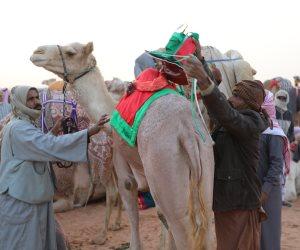 سباقات الهجن.. تراث بدوي أصيل تتوارثه الأجيال في سيناء