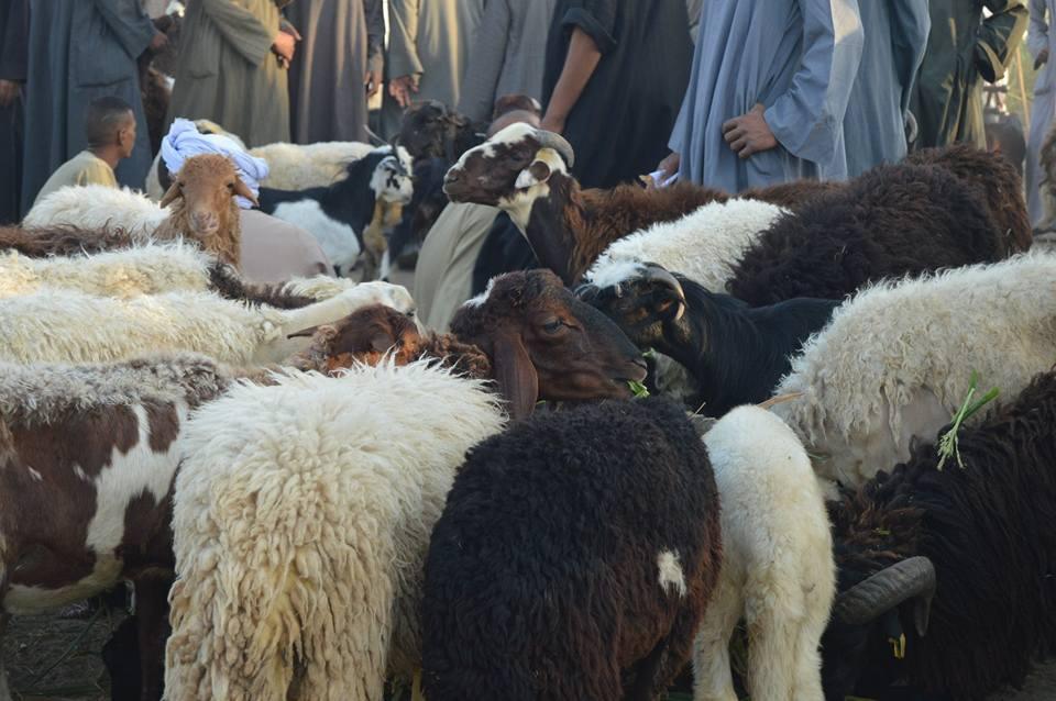الأهالي يتوافدون علي سوق المواشي قبل ليلة العيد (4)