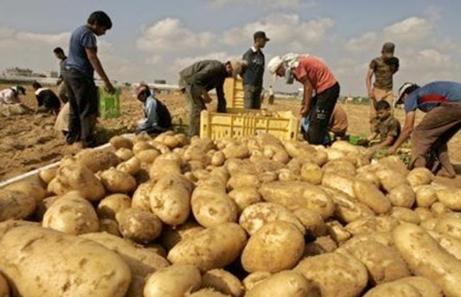 زراعة وتصدير البطاطس