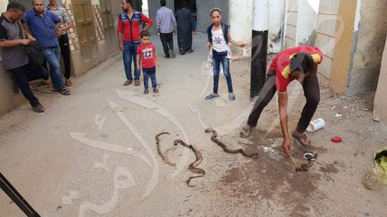 6-اهالى-البحيرة-يقتلون-الثعابين-السامة