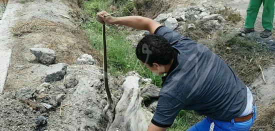 3-استخراج-الثعابين-بواسطة-صائدى-الثعابين