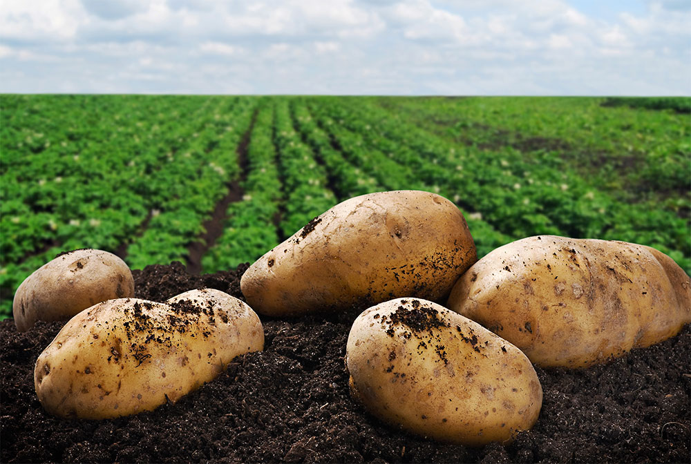 زراعة وإنتاج البطاطس