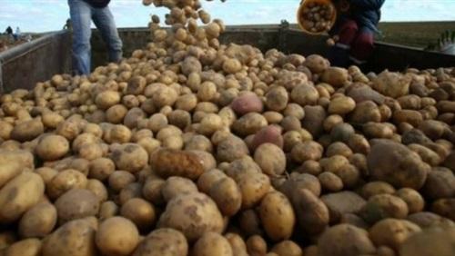 زراعة البطاطس فى مصر