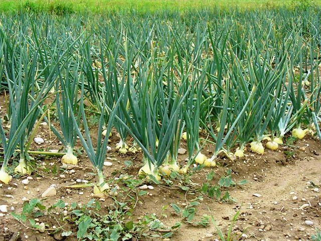 نبات البصل