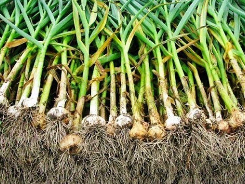 نبات الثوم