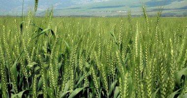 أيام قليلة وتبدأ زراعة القمح