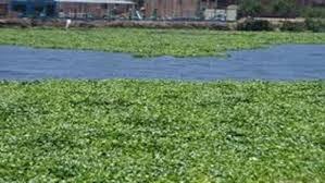 ورد النيل يمتص ويلتهم المياه فى مصر